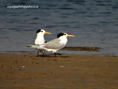 DSC00828 Lesser Crested Tern (Thalasseus bengalensis) (vlupadya) Tags: greatnature animal aves fauna indianbirds lesser crested tern thalasseus kundapura karnataka