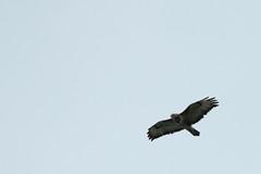 Buizerd (hannysavelkouls) Tags: buizerd ooijpolder leuth roofvogel 6juli2018 vogel