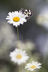 Le demi deuil (Thomas Vanderheyden) Tags: butterfly papillon insect insecte nature beautifulearth bokeh faune fauna macro proxi samyang135mm xt1 colors couleur flower fleur demideuil