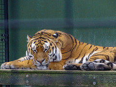 Vladimir - Napping on the plateau again (Rasenche) Tags: animal carnivore cat mammal bigcat annapaulowna stichtingleeuw tiger panthera tigris altaica mammalia