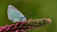 Glaucopsyche alexis (KOMSIS) Tags: kelebek butterfly schmetterlinge papillon farfalla borboleta mariposa فراشة πεταλούδα πεταλούδεσ バタフライ 나비 лептир פרפר ქელებეკი پروانه пеперутка तितली လိပ်ပြာ թիթեռ প্রজাপতি бабочка bábochka conbướm dagfjärilar féileacán fiðrildi fjäril fjärilar fluture flutur көбелек kəpənək kupukupu leptir liblikas матылёк motyl motýlů motýl motýľ motýlech papallona päiväperhonen perhonen päiperlek pillangó vlinder animal arthropoda insecta lepidoptera lycaenidae glaucopsychealexis glaucopsycheaeruginosa uygurkaragözlümavikelebeği nikond810 sigma150mmos nature outdoor wildlife blossom green бабочки macro insect macrophotography