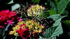 Hortensie...Alt-Neu (dl1ydn) Tags: dl1ydn hortensien blossoms blüten nature garden voigtländer colorskopar f3580mm mf manuell altglas nahaufnahmen