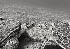Love or hate? (Niklas FliNdt) Tags: black white bw underwater turtle seaturtles ocean sea seagrass bottom sand diving scuba travel egypt redsea marsa alam