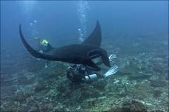 Гигантская манта на Манта-пойнт. Giant manta at the Manta Point, Nusa Penida (atardecer2018) Tags: дайвинг бали 2017 scubadiving diving underwater bali manta fish