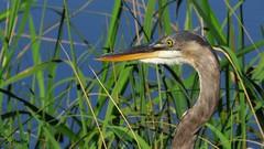 Great Blue Heron (Suzanham) Tags: greatblueheron heron bird grass mississippi aquaticbird wadingbird nature wildlife noxubeewildliferefuge profile macro