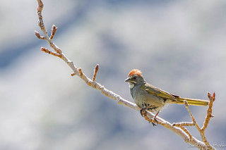 Green-tailed towhee, Convict Lake at Mammoth Lakes Calif.