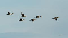 _DSC3574.jpg (fotolasse) Tags: sonyölandormvråkfåglar öland natur kalmar ottenby långejan fyr canon sony bird birds fåglar vatten hav water sea sweden sverige