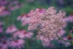 Pink (JMS2) Tags: flowers garden wildflowers pink coneflowers dof bokeh summer botany botanical bokehlicious