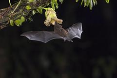 Pallas' Long-Tongued Bat - Feeding (Hamilton Images) Tags: pallasslongtonguedbat glossophagasoricina lagunadellagartolodge bocatapada costarica canon 5dmarkiv 100400mmii january 2018 juancarlosvindasphototours neotropicphototour img293a00881