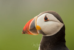 Atlantic Puffin (Ian howells wildlife photography) Tags: ianhowells ianhowellswildlifephotography nature naturephotography wildlife wales wildlifephotography wild wildbird wildbirds puffin skomer