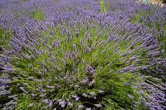 Lavender Harvest (richard.singleton) Tags: lavanda lavender lavandulaangustifolia sardinia sardegna plant mediterranian mediterraneanplant herb oristano riolasardo organic