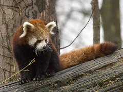 Red Panda, Chester Zoo, UK (Ministry) Tags: red panda chesterzoo chester cheshire uk ailurusfulgens zoo tree firefox