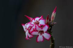 Impala Lily (leendert3) Tags: leonmolenaar krugernationalpark southafrica wildflowers impalalily coth5 ngc npc