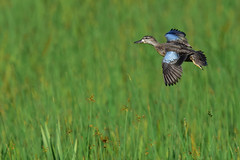 BWTGoesLeft2 (Rich Mayer Photography) Tags: bird birds animal animals avian nature fly flying flight blue wing winged teal teals wild life wildlife nikon