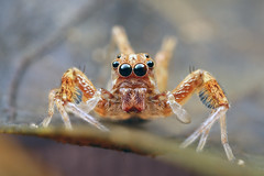 Jumping Spider (karthik Nature photography) Tags: macro insects insectphotography spiders spiderworld spiderphotography salticidae nature naturephotography closeup closeupphotography canon canonmpe65 macrophotography macrolife garden gardenphotography