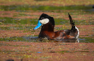 Ruddy Duck  Ballona Freshwater Marsh Playa Vista California cropped -426