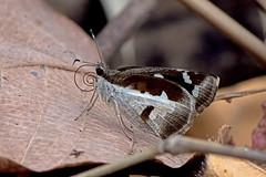 Udaspes folus - the Grass Demon (BugsAlive) Tags: butterfly mariposa papillon farfalla schmetterling бабочка conbướm ผีเสื้อ animal outdoor insects insect lepidoptera macro nature hesperiidae udaspesfolus grassdemon hesperiinae wildlife doisutheppuinp chiangmai ผีเสื้อในประเทศไทย liveinsects thailand thailandbutterflies nikon105mm bugsalive ผีเสื้อพญาทุ่งหญ้า