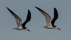 Black Skimmers (Kevin Fox D500) Tags: blackskimmer oceancitynewjersey oceancity nature nikond500 nikon newjersey wildlife welcomecenter bird birding birdwatching birds water waterfowl sigma150600sport sigma