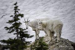 Mountain Goat (M@ H) Tags: animalinnature glaciernationalpark glaciers mountaingoats mountains nps nationalpark snow unitedstates nature wildanimals wildlife