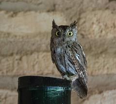Western Screech Owl - Sonoran Desert, Arizona (mattybecks3) Tags: az animals arizona bird desert ngc natgeo southwest tucson birds hoot hooters owl screech western