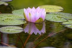 Water lily: beauty reflected - Norway (Ingunn Eriksen) Tags: mygarden waterlily flower watergarden reflections nikond750 nikon