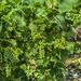 Vineyard (jbarc in BC) Tags: okanagan wine grapes vineyard bc green branch okanaganfalls winetasting vino harvest summer crop vine