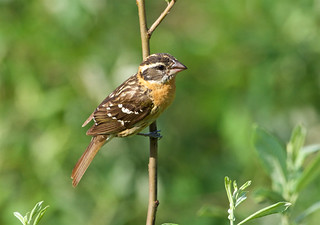 Black headed grosbeak, female