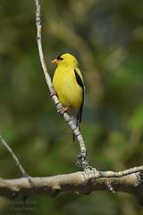 American Goldfinch - Spinus tristis (jessica.rohrbacher) Tags: american goldfinch spinus tristis fringillidae bird avian male calgary alberta canada