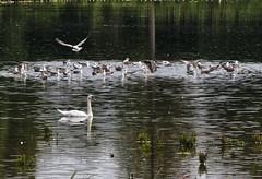 Swan and Seagulls , Avington UK (neilalderney123) Tags: winchester avington olympus hampshire travel swan seagulls birds england