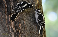 Feeding Time! (janagoss32) Tags: lakehuronontario july2018 summer baby mother feeding tree immature downy woodpecker