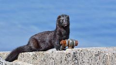 Mink (KHR Images) Tags: mink americanmink wild carnivorous mammal neovisionvision craignure isleofmull innerhebrides scotland wildlife nature nikon d500 kevinrobson khrimages