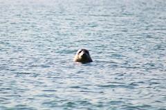 Seal diving (ekaterina alexander) Tags: seal diving sea ocean seals summer coast coastline shore semiaquatic mammal wild ekaterina alexander nature photography pictures england sussex