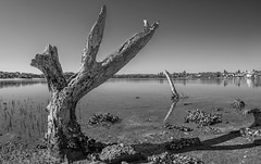 Death in the mangroves (OzzRod) Tags: pentax k1 smcpentaxf1728mmf3545fisheye monochrome blackandwhite estuary shoreline dead trees mangroves blacknedsbay swansea nsw pentaxart
