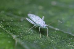 0617egyeb-4 (adam.leaf) Tags: leafling canon 6d macro extension 50mm reuteria marqueti