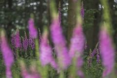 Digitales (Richard Holding) Tags: bois digitale eure fleur flore flower forest forêt m43 normandie normandy olympus omd woods
