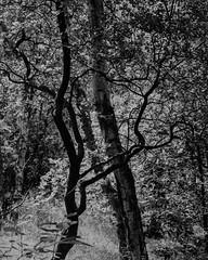 Hyons Wood (Jonathan Carr) Tags: ancient woodlan trees leaves black white bw monochrome largeformat 4x5 5x4 landscape rural northeast