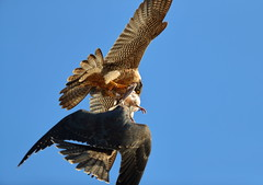 Peregrine fledgling went up to mom for food transfer (charlescpan) Tags: peregrine falcon food transfer