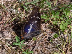A flash of purple (ArtFrames) Tags: cotgravewoods nottingham butterflies purple emperor male grounded insect lepidoptera