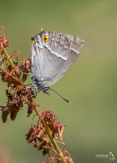 Purple Hairstreak, Favonius quercus