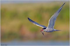 Sterna (fausto.deseri) Tags: commontern sternahirundo sterna wildlife birds nature wildanimals salinadicomacchio nikond500 nikkorafs300mmf28dii nikontc17eii faustodeseri