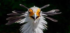 Sekretär(in?) (pe_ha45) Tags: bird vogel oiseau parcdesoiseaux villarslesdombes sekretär sagittariusserpentarius secretarybird messagersagittaire sécrétaire