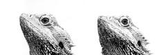 Why so serious? (Fujibert) Tags: wildparkschwarzeberge highkey kunst schwarzweis echse tier stil collage amphibie animal art lizard style blackwhite bw sw flickr hss sliders sunday