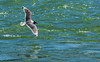Gull Over The Bow (DCZwick) Tags: bird gull flying water river bowriver fishcreekprovincialpark calgary alberta canada pentaxk3 da60250x14
