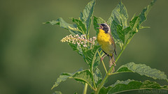 Common Yellowthroat (Geothlypis trichas) (ER Post) Tags: bird commonyellowthroatgeothlypistrichas indianpokeweedphytolaccaesculenta plant warbler wildflower fennville michigan unitedstates us