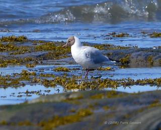 Mouette rieuse, Black-headed Gull.  DSC_7129