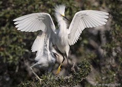 Spending Quality Time (pandatub) Tags: bird birds egret snowyegret chick lakeshorepark