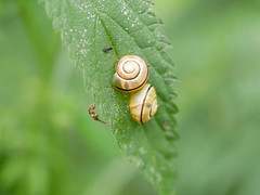 Two for Saturday. (dave p brecks) Tags: snails