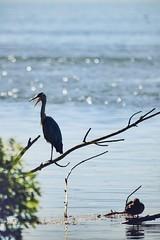 Cohabitation (N'Grid) Tags: sauvage bird oiseau sigmacontemporary sigma 150600mm 150600 7dmarkii canon wildlife pond etang eau water nature duck canard héron