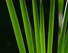 Rohrkolben (Typha latifolia) im Gegenlicht (klaus.sinuett) Tags: rohrkolben typhalatifolia backlight gegenlicht abstraktelinien