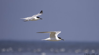 one good tern deseves another